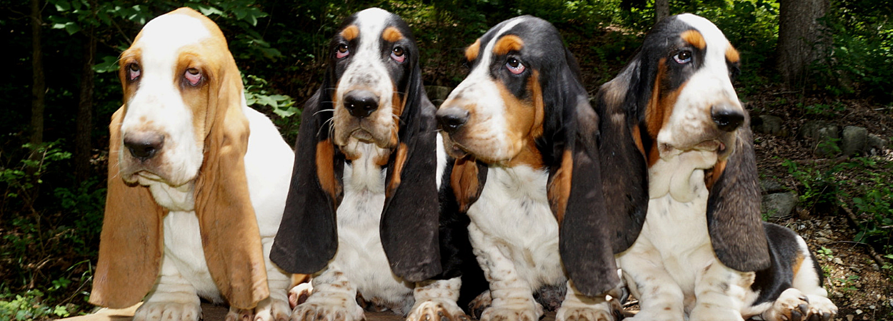 Basset Hound puppies and information from Stonewall Farm Bassets in Ava, MO