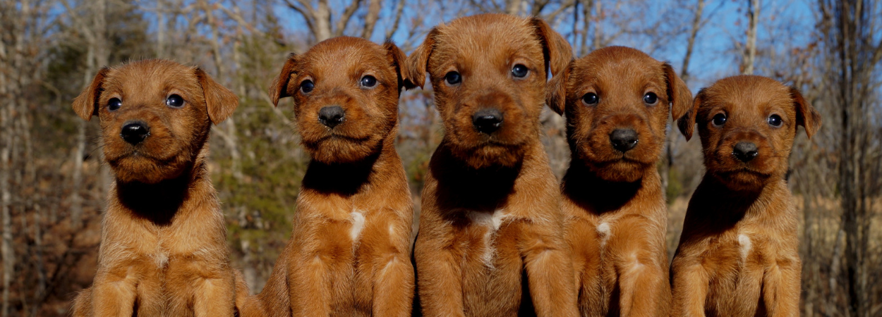 Irish Terrier puppies and information from Stonewall Farm Bassets in Ava, MO